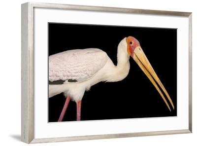A Yellow-Billed Stork, Mycteria Ibis, at the Living Desert in Palm Desert, California-Joel Sartore-Framed Photographic Print