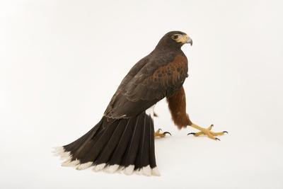 A Western Harris Hawk, Parabuteo Unicinctus Superior, at the Living Desert in Palm Desert, Californ-Joel Sartore-Framed Photographic Print