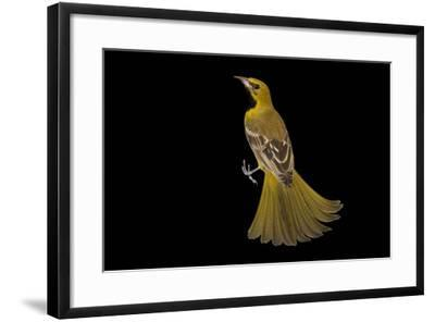 A Hooded Oriole, Icterus Cucullatus, at the Living Desert in Palm Desert, California-Joel Sartore-Framed Photographic Print