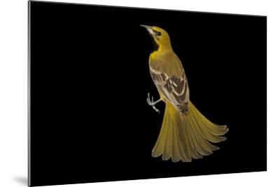 A Hooded Oriole, Icterus Cucullatus, at the Living Desert in Palm Desert, California-Joel Sartore-Mounted Photographic Print
