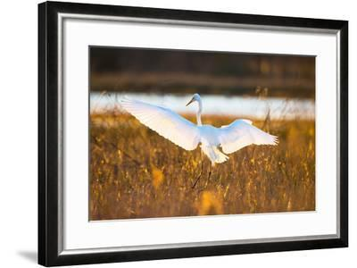 Portrait of a Great Egret, Ardea Alba, Landing in a Marsh-Robbie George-Framed Photographic Print