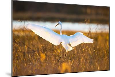 Portrait of a Great Egret, Ardea Alba, Landing in a Marsh-Robbie George-Mounted Photographic Print