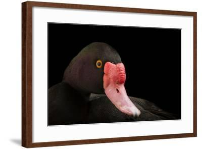 A Rosy-Billed Pochard, Netta Peposaca, at the Caldwell Zoo-Joel Sartore-Framed Photographic Print