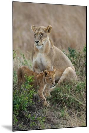 Portrait of a Lioness, Panthera Leo, and Her Cub-Bob Smith-Mounted Photographic Print