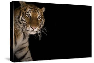 A Female Amur Tiger at the Cheyenne Mountain Zoo-Joel Sartore-Stretched Canvas Print