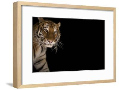 A Female Amur Tiger at the Cheyenne Mountain Zoo-Joel Sartore-Framed Photographic Print
