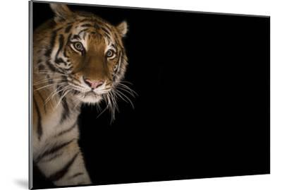 A Female Amur Tiger at the Cheyenne Mountain Zoo-Joel Sartore-Mounted Photographic Print