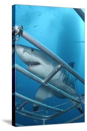 Portrait of a Great White Shark, Carcharodon Carcharias, Approaching a Diving Cage-Jeff Wildermuth-Stretched Canvas Print