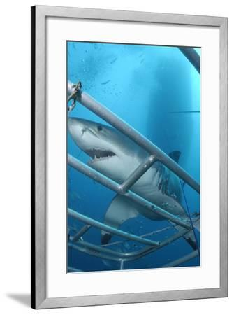 Portrait of a Great White Shark, Carcharodon Carcharias, Approaching a Diving Cage-Jeff Wildermuth-Framed Photographic Print