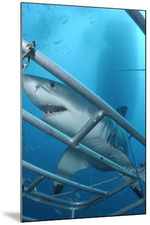 Portrait of a Great White Shark, Carcharodon Carcharias, Approaching a Diving Cage-Jeff Wildermuth-Mounted Photographic Print