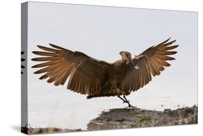 Portrait of a Hammerkop, Scopus Umbretta, Landing with a Termite in its Beak-Sergio Pitamitz-Stretched Canvas Print