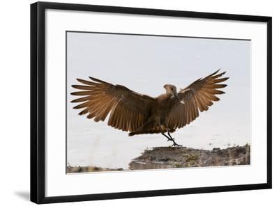 Portrait of a Hammerkop, Scopus Umbretta, Landing with a Termite in its Beak-Sergio Pitamitz-Framed Photographic Print