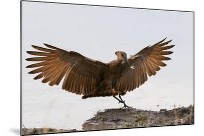 Portrait of a Hammerkop, Scopus Umbretta, Landing with a Termite in its Beak-Sergio Pitamitz-Mounted Photographic Print