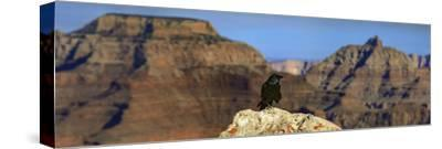 A Crow, Corvus Species, Perched on a Rock at the Edge of the Grand Canyon-Babak Tafreshi-Stretched Canvas Print