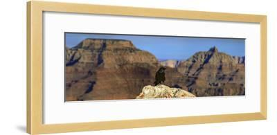 A Crow, Corvus Species, Perched on a Rock at the Edge of the Grand Canyon-Babak Tafreshi-Framed Photographic Print