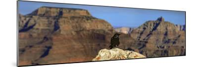 A Crow, Corvus Species, Perched on a Rock at the Edge of the Grand Canyon-Babak Tafreshi-Mounted Photographic Print