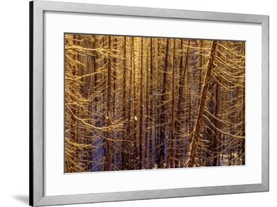 Sunlight Sparkles on Icy Lodgepole Pine Trees, Pinus Contorta-Tom Murphy-Framed Photographic Print