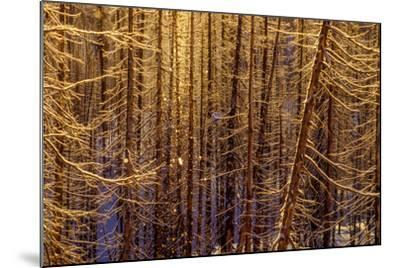 Sunlight Sparkles on Icy Lodgepole Pine Trees, Pinus Contorta-Tom Murphy-Mounted Photographic Print