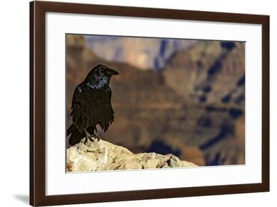 Portrait of a Crow, Corvus Species, Perched on a Rock at the Edge of the Grand Canyon-Babak Tafreshi-Framed Photographic Print