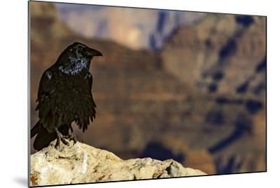 Portrait of a Crow, Corvus Species, Perched on a Rock at the Edge of the Grand Canyon-Babak Tafreshi-Mounted Photographic Print