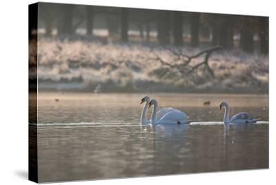 Three Swans Glide across a Misty Pond in Richmond Park at Sunrise-Alex Saberi-Stretched Canvas Print