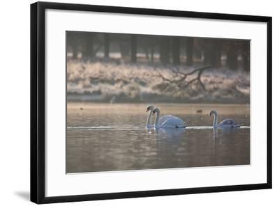 Three Swans Glide across a Misty Pond in Richmond Park at Sunrise-Alex Saberi-Framed Photographic Print