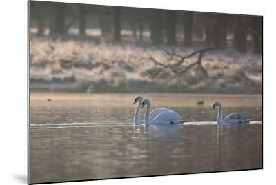 Three Swans Glide across a Misty Pond in Richmond Park at Sunrise-Alex Saberi-Mounted Photographic Print