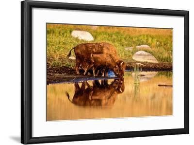 A Five Month Old Bison Calf Drinking Beside its Mother-Tom Murphy-Framed Photographic Print