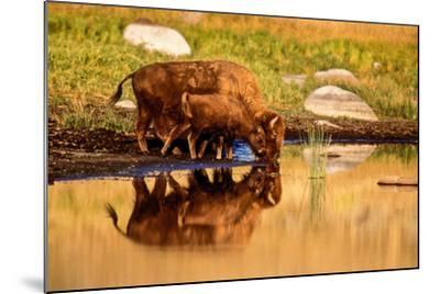 A Five Month Old Bison Calf Drinking Beside its Mother-Tom Murphy-Mounted Photographic Print