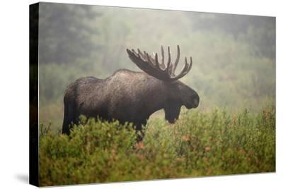 Portrait of a Male Moose, Alces Alces, in a Foggy Landscape-Bob Smith-Stretched Canvas Print