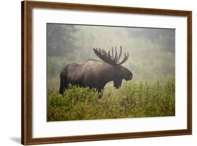 Portrait of a Male Moose, Alces Alces, in a Foggy Landscape-Bob Smith-Framed Photographic Print