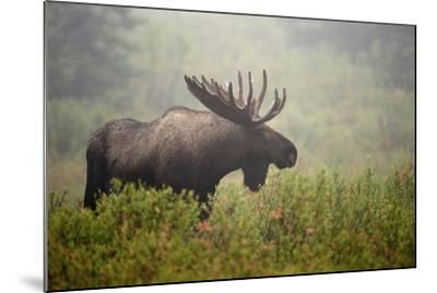 Portrait of a Male Moose, Alces Alces, in a Foggy Landscape-Bob Smith-Mounted Photographic Print