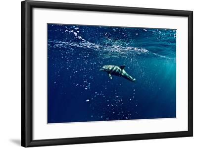 An Atlantic White-Sided Dolphin Swimming Through Clear Blue Water Filled with Bubbles-Heather Perry-Framed Photographic Print