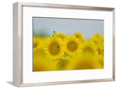 An American Goldfinch, Carduelis Tristis, on a Sunflower in a Field of Sunflowers-Paul Sutherland-Framed Photographic Print