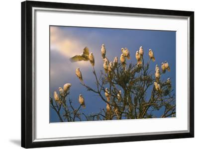 A Flock of Western Corellas Perching in a Tree in Australia's Outback in South Australia-Medford Taylor-Framed Photographic Print