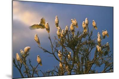 A Flock of Western Corellas Perching in a Tree in Australia's Outback in South Australia-Medford Taylor-Mounted Photographic Print