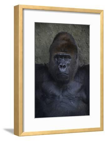 Portrait of a Western Lowland Gorilla at the Miami Metro Zoo-Raul Touzon-Framed Photographic Print
