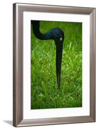 Portrait of a Black Necked Stork at the Miami Metro Zoo-Raul Touzon-Framed Photographic Print