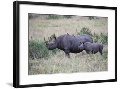 Portrait of a Rhinoceros and Her Calf in a Grassland. Oxpeckers are on the Mother's Back-Bob Smith-Framed Photographic Print