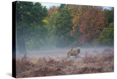 A Red Deer Stag Stands Against an Autumn Backdrop with a Jackdaw Perched on His Back at Sunrise-Alex Saberi-Stretched Canvas Print