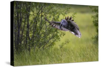 A Great Gray Owl, Strix Nebulosa, Flying with a Rodent in its Beak-Robbie George-Stretched Canvas Print