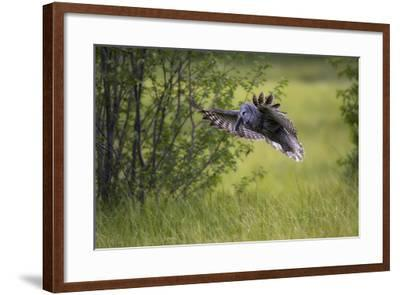 A Great Gray Owl, Strix Nebulosa, Flying with a Rodent in its Beak-Robbie George-Framed Photographic Print