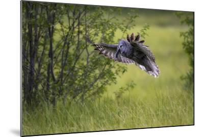 A Great Gray Owl, Strix Nebulosa, Flying with a Rodent in its Beak-Robbie George-Mounted Photographic Print