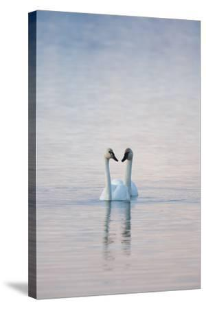 A Pair of Trumpeter Swans Swimming Together-Peter Mather-Stretched Canvas Print