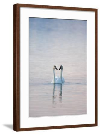 A Pair of Trumpeter Swans Swimming Together-Peter Mather-Framed Photographic Print