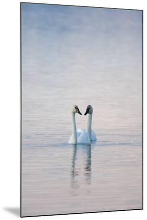 A Pair of Trumpeter Swans Swimming Together-Peter Mather-Mounted Photographic Print