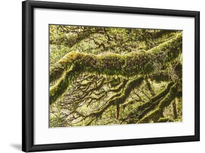 Moss, Lichen, Liverwort, and Other Clinging Greenery Cover Tree Limbs-Michael Melford-Framed Photographic Print