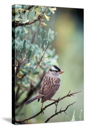 A White Crowned Sparrow, Zonotrichia Leucophrys, Perched on a Tree-Tom Murphy-Stretched Canvas Print
