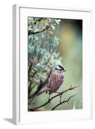 A White Crowned Sparrow, Zonotrichia Leucophrys, Perched on a Tree-Tom Murphy-Framed Photographic Print