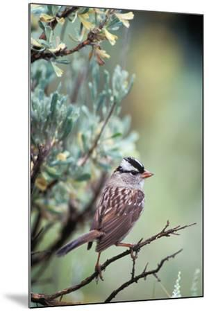A White Crowned Sparrow, Zonotrichia Leucophrys, Perched on a Tree-Tom Murphy-Mounted Photographic Print